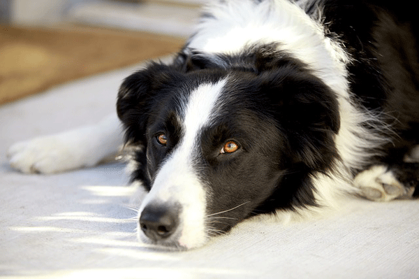 border-collie3