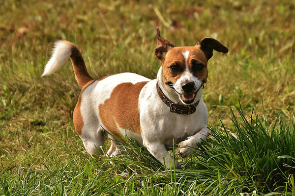 jack-russell2