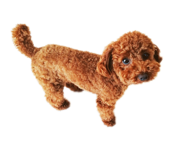 toy-poodle2