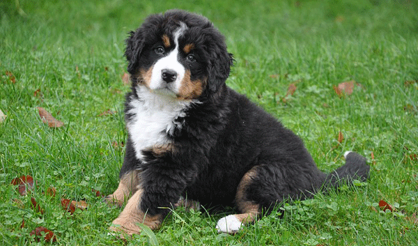 bernese-mountain-dog3