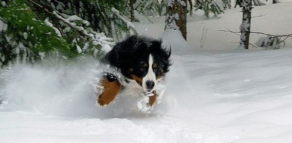 bernese-mountain-dog4