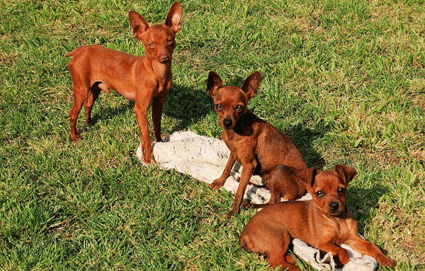 miniature-pinscher3